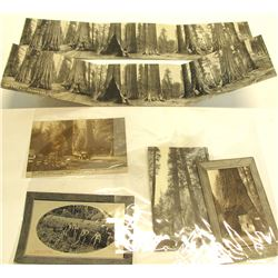 Big Trees, Calaveras County Postcards (10) incl. Panorama