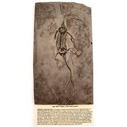 Fossil Triassic Reptile