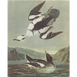 c1946 Audubon Print, #347 Smew, Diving Duck