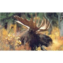 Discounted Western Canadian Trophy Moose Hunt in some of the best allocations in Canada