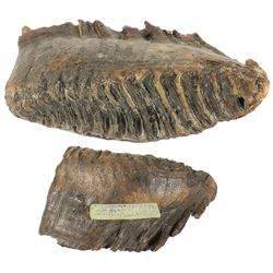 Fossilized mammoth tooth from the North Sea.