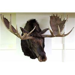 Large Alaskan shoulder mount moose