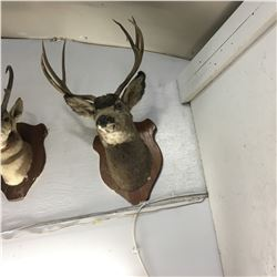 Taxidermy : Mule Deer (Tag #436)