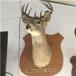 Taxidermy : White Tail Deer (Tag #437)