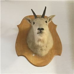Taxidermy : Mountain Goat (Tag #438)
