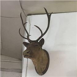 Taxidermy : Caribou (Tag #435)
