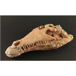 Petrified Crocodile Skull