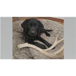 Female Black Lab Puppy Sponsored by: Matt & Aspen Rosso
