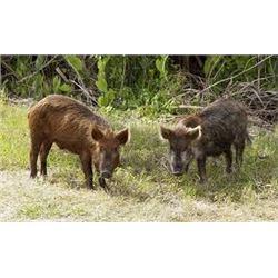 Michigan Feral Hog Hunt