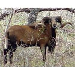 Two day Texas hunt for 2 hunters with choice of 1 ram each