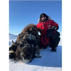 CANADA NORTH: 5-Day Barren Ground Muskox Hunt for One Hunter in Nunavut Territory, Canada - Includes