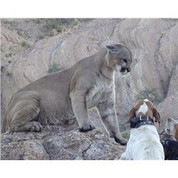 6-day Arizona Mountain Lion Hunt for One Hunter