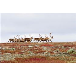 6-day Barren Ground Muskox and Central Canada Barren Ground Caribou combination hunt in Nunavut Terr