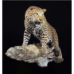 Life Size Leopard Mount