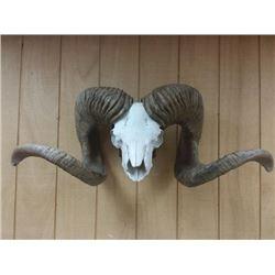 High Altai Argali Replica Horns