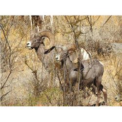 5-day Mexico Desert Bighorn Sheep Hunt for One Hunter and One Observer