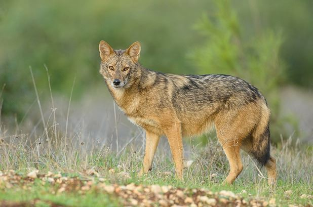 5 - DAY GOLDEN JACKAL AND ROE DEER HUNT IN MACEDONIA FOR 1 HUNTER AND 1 NON-HUNTER