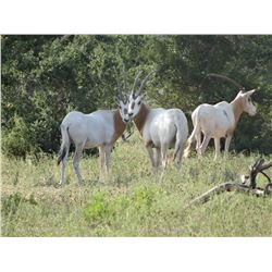 3 - DAY/2 NIGHT NILGAI, AOUDAD SHEEP OR SCIMITAR ORYX HUNT FOR 1 HUNTER AND 1 NON-HUNTER