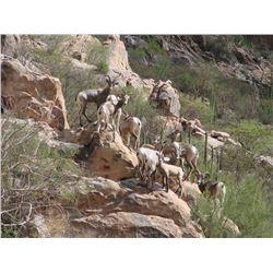 7 - DAY DESERT SHEEP HUNT FOR 1 HUNTER