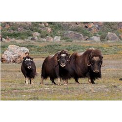 7 - DAY GREENLAND MUSKOX & CENTRAL BARRON