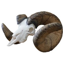 "WORLD RECORD BIGHORN SHEEP 216 3/8"" B&C REPLICA LIMITED EDTION #01/20"