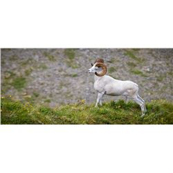 """""""Dall Sheep"""" 36X16 framed photo on canvas"""