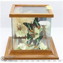 97) VINTAGE GLASS ENCLOSED SUNSET MOTHS DISPLAY
