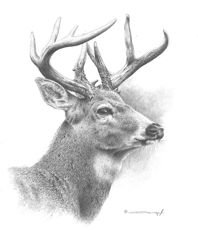 White-Tailed Deer Original Pencil Drawing by Dennis Mayer ...