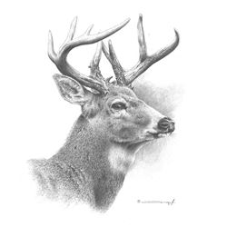White-Tailed Deer Original Pencil Drawing by Dennis Mayer Jr. Valued at $600.00