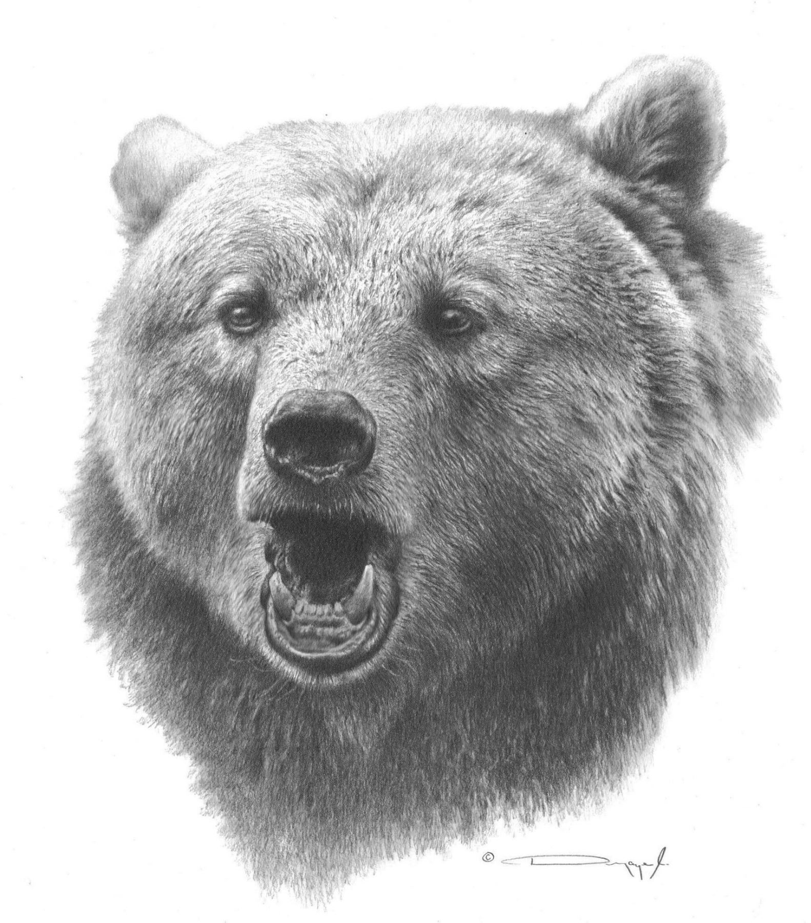 Grizzly bear original pencil drawing by dennis mayer jr valued at 600 00