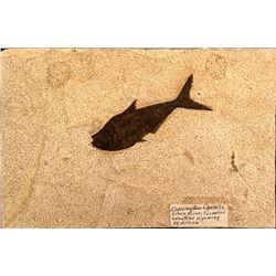 Diplomystus Dantatis Fossil