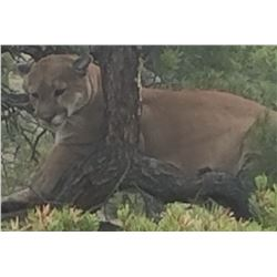 5 Day Cougar hunt in New Mexico for 1 hunter
