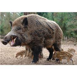 Independence Ranch Texas Hog Hunt