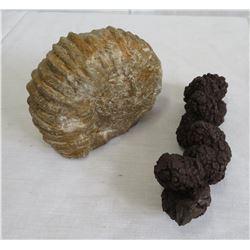 Fossil Ammonite & Coprolite