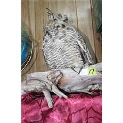 Taxidermied Horned Owl