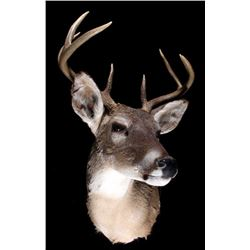 Montana Whitetail Deer Taxidermy Shoulder Mount