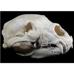 Professionally Prepared Montana Trophy Bear Skull