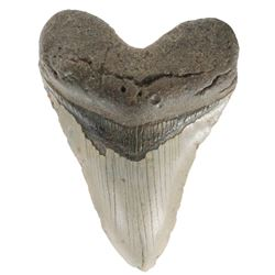 Megalodon (huge shark) tooth, Miocene era (approx. 2.6 to 15 million years old), found in the Hawtho