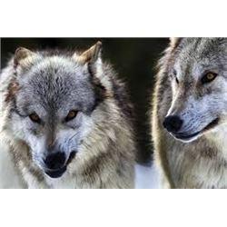 5 Day British Columbia Wolf Hunt