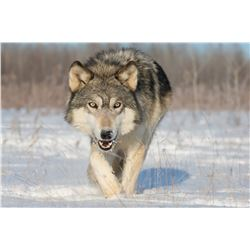 7-Day, Wolf, Lynx, Wolverine Combo Hunt OR 6-day, Trophy Archery Mule Deer Hunt, both for 1 hunter