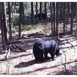 5-DayTrophy Black Bear Hunt in Saskatchewan
