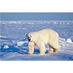 #SB-17 Polar Bear Hunt, Nunavut