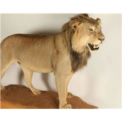 Full Mounted African Lion