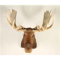 Massive Shoulder Mounted Moose
