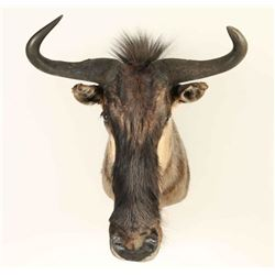 Wildebeest Shoulder Mount