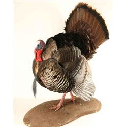 Full Mounted Turkey