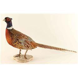 Full mounted Pheasant