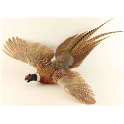 Full mounted Flying Pheasant
