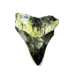 Prehistoric Megalodon Shark Tooth Specimen