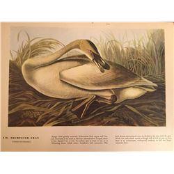 c1946 Audubon Print, Trumpeter Swan #376